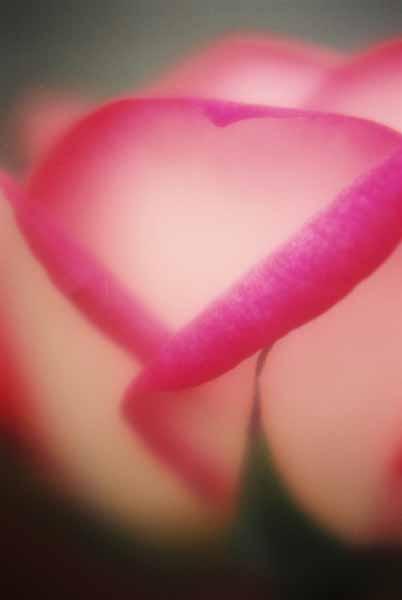 Rose 1548